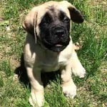 Angol masztiff 150x150 - Angol masztiff: barátságos és nyugodt kutyafajta