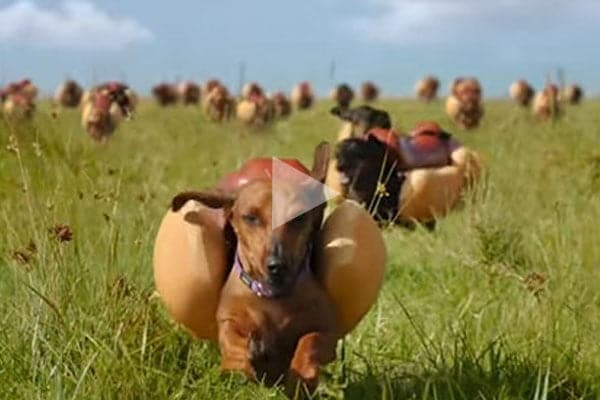 Hot dog kutyák - Hot-dog kutyák rohangálnak!