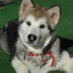 Alaszkai malamut 150x150 - Alaszkai malamut - erős, szívós, kitartó és intelligens kutyafajta