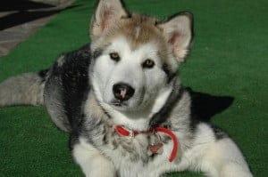 Alaszkai malamut 300x199 - Alaszkai malamut - erős, szívós, kitartó és intelligens kutyafajta