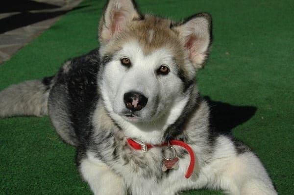 Alaszkai malamut - Alaszkai malamut - erős, szívós, kitartó és intelligens kutyafajta