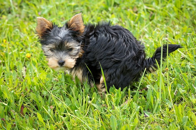Hogyan szoktasd szobatisztaságra kiskutyádat három nap alatt - Hogyan szoktasd szobatisztaságra kiskutyádat három nap alatt?