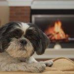 Kutyafajták amelyek nem hullatják a szőrüket 150x150 - Kutyafajták, amelyek nem hullatják a szőrüket