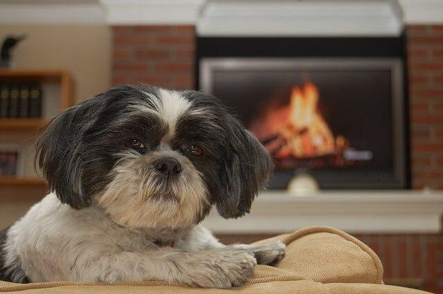 Kutyafajták amelyek nem hullatják a szőrüket - Kutyafajták, amelyek nem hullatják a szőrüket