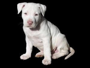 Az Amerikai Staffordshire Terrier fajtára jellemző jegyek 300x226 - Amerikai Staffordshire Terrier (Amstaff)