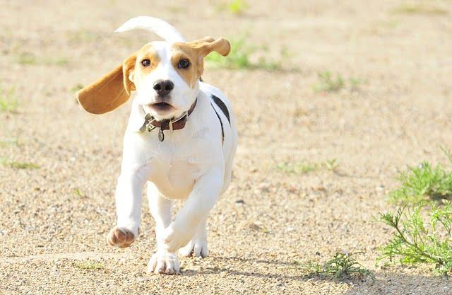 A beagle jelleme - Beagle – a mindig barátságos és energikus vadászkutya