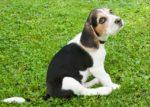Beagle – a mindig barátságos és energikus vadászkutya 150x107 - Beagle – a mindig barátságos és energikus vadászkutya