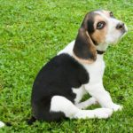 Beagle – a mindig barátságos és energikus vadászkutya 150x150 - Beagle – a mindig barátságos és energikus vadászkutya