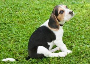 Beagle – a mindig barátságos és energikus vadászkutya 300x214 - Beagle – a mindig barátságos és energikus vadászkutya