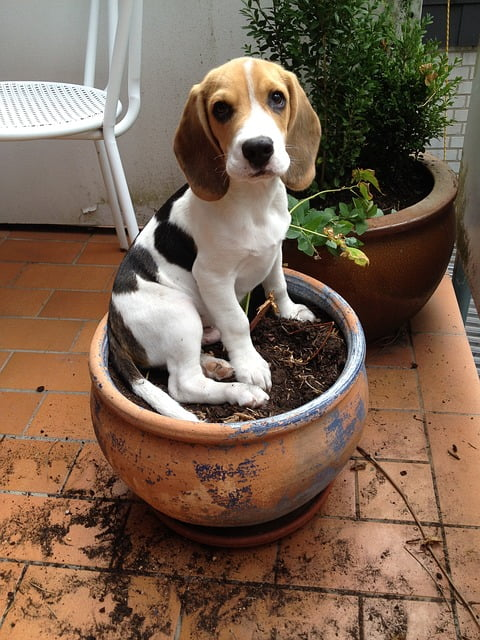 beagle - Beagle – a mindig barátságos és energikus vadászkutya