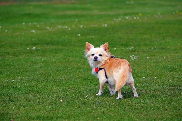 A csivava eredete - Csivava –  a fürge, temperamentumos, kíváncsi kutyus