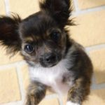 A csivava jelleme 150x150 - Csivava –  a fürge, temperamentumos, kíváncsi kutyus
