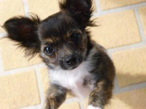 A csivava jelleme 300x225 - Csivava –  a fürge, temperamentumos, kíváncsi kutyus