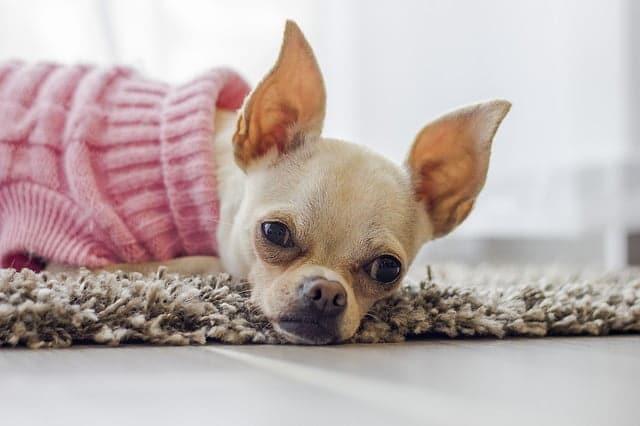 A csivava megjelenése - Csivava –  a fürge, temperamentumos, kíváncsi kutyus