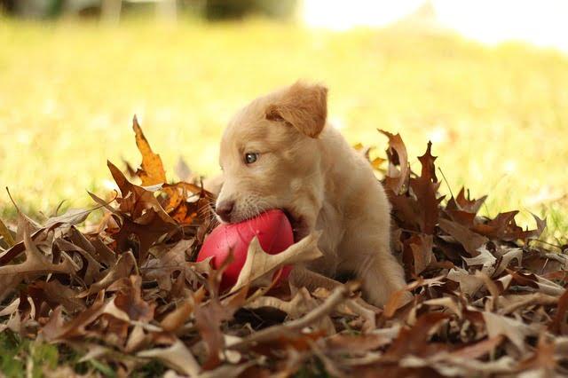 A labrador retriever jelleme - Labrador retriever – a játékos és vidám kutyafajta