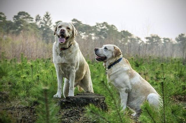 A labrador retriever megjelenése - Labrador retriever – a játékos és vidám kutyafajta