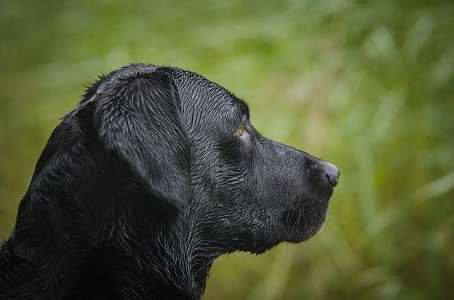 A labrador retriever története - Labrador retriever – a játékos és vidám kutyafajta