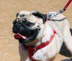 Hogyan tartsuk vissza a kutyát ha nagyon húz a pórázzal 150x127 - Hogyan tartsuk vissza a kutyát, ha nagyon húz a pórázzal?