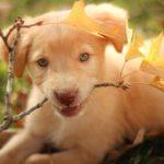 Labrador retriever – a játékos és vidám kutyafajta 150x150 - Labrador retriever – a játékos és vidám kutyafajta