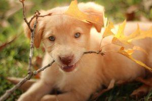 Labrador retriever – a játékos és vidám kutyafajta 300x200 - Labrador retriever – a játékos és vidám kutyafajta