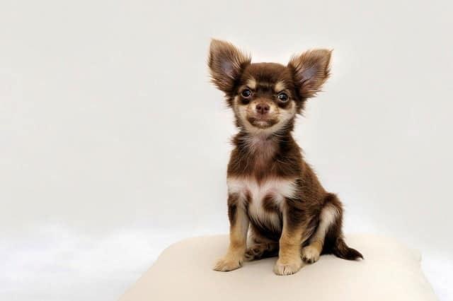 Kutyáink külső élősködői II