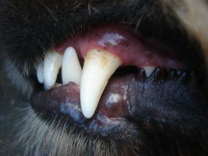 Fogapolasi tanacsok kutyusoknak 300x225 - Fogápolási tanácsok kutyusoknak