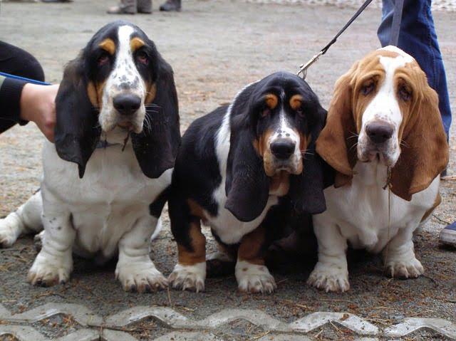 Basset hound - kutyafajták
