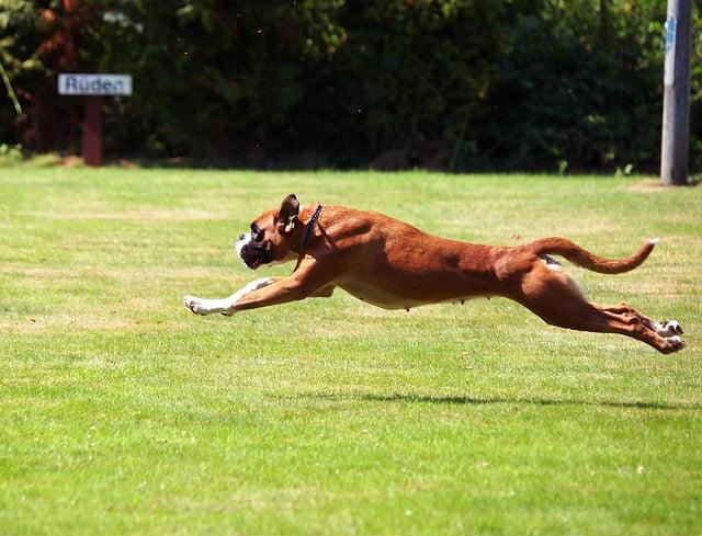 boxer kutya