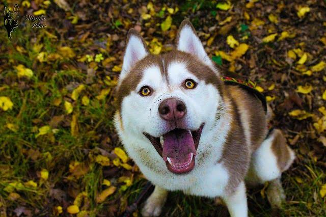 husky 3 - 59 kutyanév a husky típusú kutyafajtáknak!