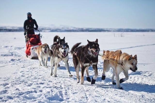 szanhuzo husky - 59 kutyanév a husky típusú kutyafajtáknak!