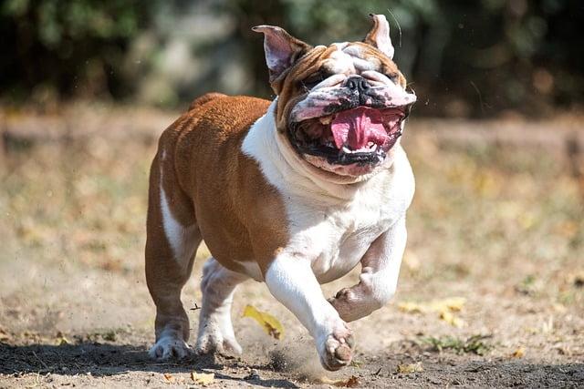 """A bulldog története - Angol bulldog - az angolok """"nemzeti ebe"""""""