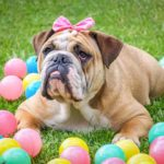 """Angol bulldog az angolok """"nemzeti ebe"""" 150x150 - Angol bulldog - az angolok """"nemzeti ebe"""""""