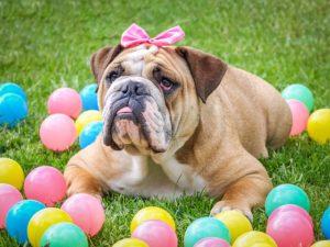 """Angol bulldog az angolok """"nemzeti ebe"""" 300x225 - Angol bulldog - az angolok """"nemzeti ebe"""""""