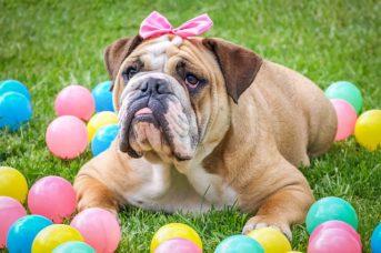 """Angol bulldog az angolok """"nemzeti ebe"""" 343x228 - Angol bulldog - az angolok """"nemzeti ebe"""""""