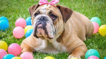 """Angol bulldog az angolok """"nemzeti ebe"""" 360x201 - Angol bulldog - az angolok """"nemzeti ebe"""""""