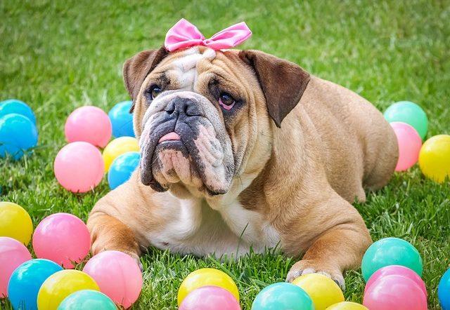 """Angol bulldog az angolok """"nemzeti ebe"""" 640x442 - Angol bulldog - az angolok """"nemzeti ebe"""""""