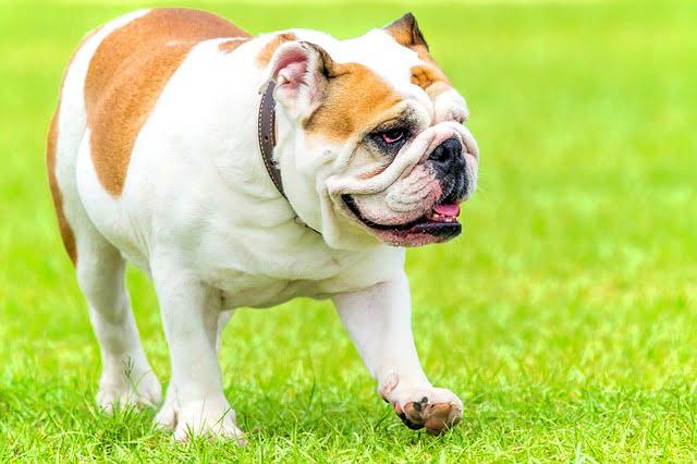 """Az angol bulldog külseje - Angol bulldog - az angolok """"nemzeti ebe"""""""