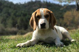 Beagle 272x182 - 57 kutyanév a beagle típusú kutyafajtáknak!