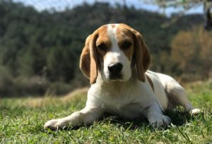 Beagle 300x204 -
