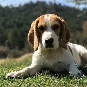 Beagle 300x300 - 57 kutyanév a beagle típusú kutyafajtáknak!