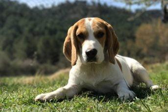 Beagle 343x228 - 57 kutyanév a beagle típusú kutyafajtáknak!