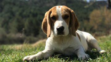 Beagle 360x201 - 57 kutyanév a beagle típusú kutyafajtáknak!