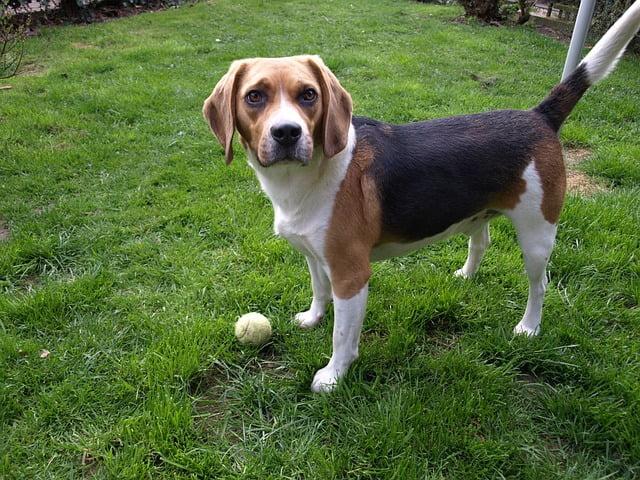Beagle a kertben - 57 kutyanév a beagle típusú kutyafajtáknak!