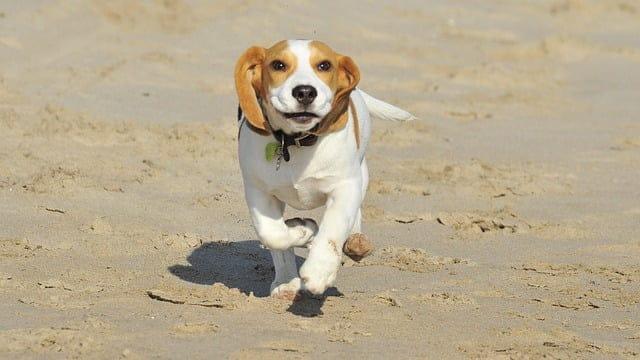 beagle - 57 kutyanév a beagle típusú kutyafajtáknak!