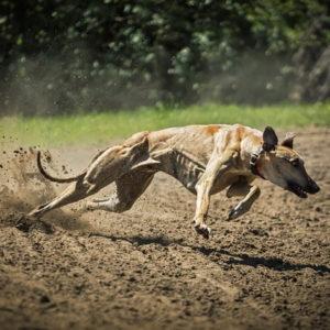 Magyar agár a magyar kutyafajta története és jellemzői 300x300 - Magyar agár - a magyar kutyafajta története és jellemzői