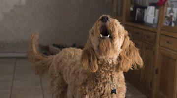 Mitől félnek a kutyák 4 jellegzetes kutyafélelem és fóbia  360x201 - Mitől félnek a kutyák? 4 jellegzetes kutyafélelem és -fóbia