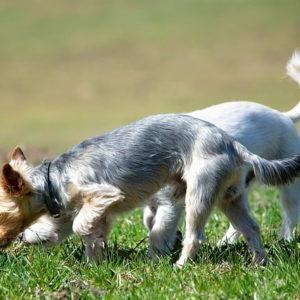 Miért kell hagynod hogy a kutyád szimatoljon séta közben 300x300 - Miért kell hagynod, hogy a kutyád szimatoljon séta közben?