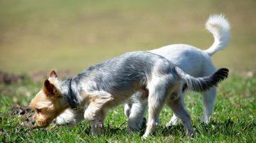 Miért kell hagynod hogy a kutyád szimatoljon séta közben 360x201 - Miért kell hagynod, hogy a kutyád szimatoljon séta közben?