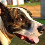 Amerikai pitbull terrier erős sokoldalú és imádja az embereket 150x150 -