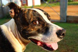 Amerikai pitbull terrier erős sokoldalú és imádja az embereket 272x182 -